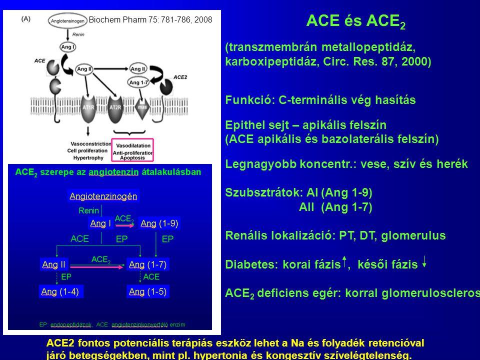 ACE és ACE 2 (transzmembrán metallopeptidáz, karboxipeptidáz, Circ. Res. 87, 2000) Funkció: C-terminális vég hasítás Epithel sejt – apikális felszín (