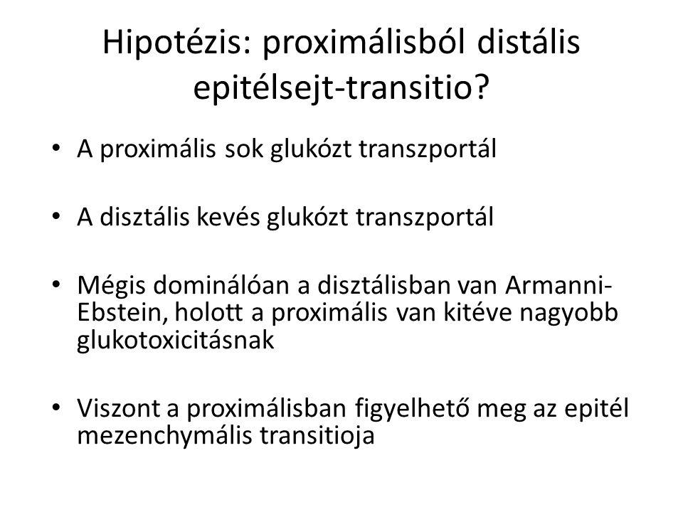 Hipotézis: proximálisból distális epitélsejt-transitio.