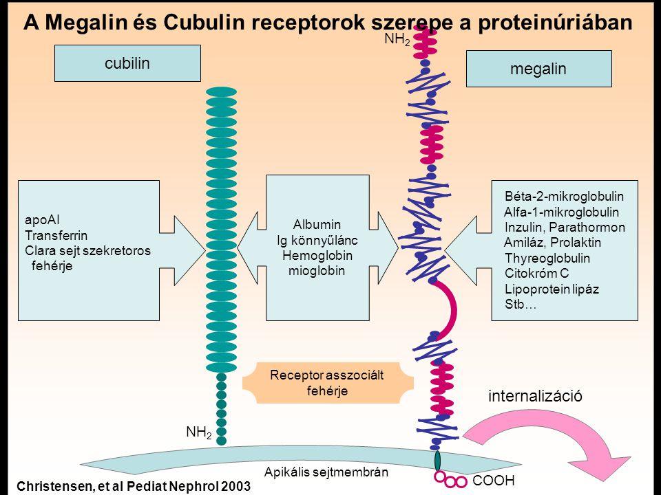 cubilin megalin apoAI Transferrin Clara sejt szekretoros fehérje Béta-2-mikroglobulin Alfa-1-mikroglobulin Inzulin, Parathormon Amiláz, Prolaktin Thyreoglobulin Citokróm C Lipoprotein lipáz Stb… Albumin Ig könnyűlánc Hemoglobin mioglobin internalizáció Apikális sejtmembrán Receptor asszociált fehérje NH 2 COOH A Megalin és Cubulin receptorok szerepe a proteinúriában Christensen, et al Pediat Nephrol 2003