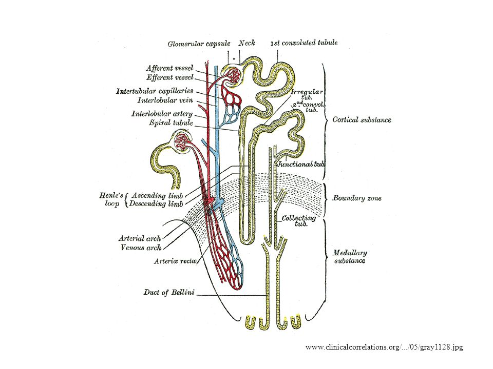 www.clinicalcorrelations.org/.../05/gray1128.jpg