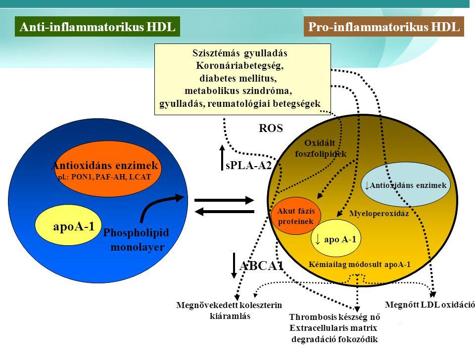 Szisztémás gyulladás Koronáriabetegség, diabetes mellitus, metabolikus szindróma, gyulladás, reumatológiai betegségek Phospholipid monolayer Oxidált foszfolipidek Kémiailag módosult apoA-1 Anti-inflammatorikus HDLPro-inflammatorikus HDL Antioxidáns enzimek pl.: PON1, PAF-AH, LCAT apoA-1 sPLA-A2 ABCA1 Megnövekedett koleszterin kiáramlás Thrombosis készség nő Extracellularis matrix degradáció fokozódik Megnőtt LDL oxidáció Akut fázis proteinek ↓ apo A-1 ↓ Antioxidáns enzimek Myeloperoxidáz ROS