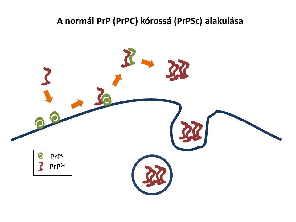 PrP C PrP Sc A normál PrP (PrPC) kórossá (PrPSc) alakulása