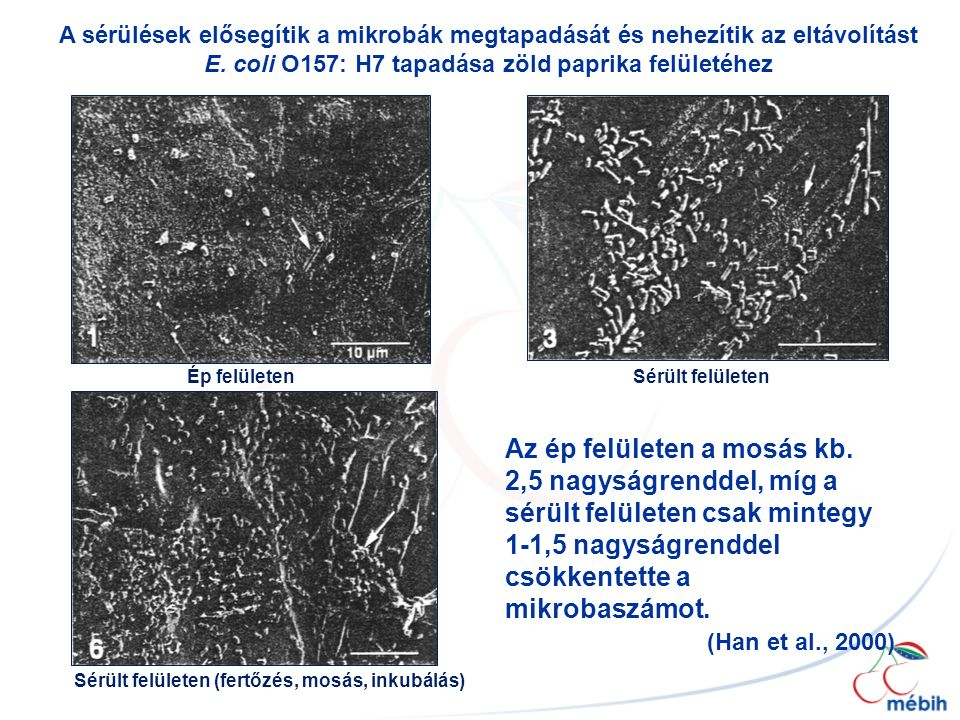 Ép felületenSérült felületen Sérült felületen (fertőzés, mosás, inkubálás) Az ép felületen a mosás kb. 2,5 nagyságrenddel, míg a sérült felületen csak
