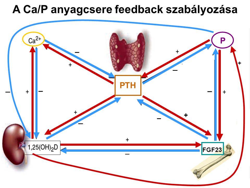 PTH _ P _ FGF23 _ + A Ca/P anyagcsere feedback szabályozása _ +