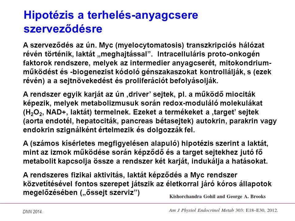"""Hipotézis a terhelés-anyagcsere szerveződésre A szerveződés az ún. Myc (myelocytomatosis) transzkripciós hálózat révén történik, laktát """"meghajtással"""""""