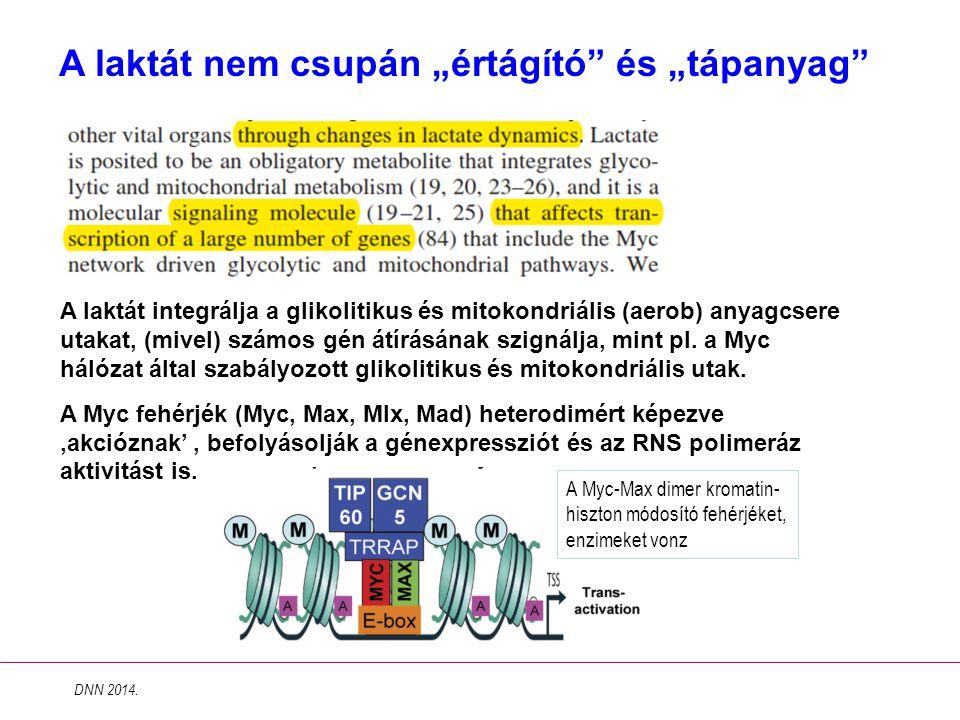 """A laktát nem csupán """"értágító"""" és """"tápanyag"""" A laktát integrálja a glikolitikus és mitokondriális (aerob) anyagcsere utakat, (mivel) számos gén átírás"""