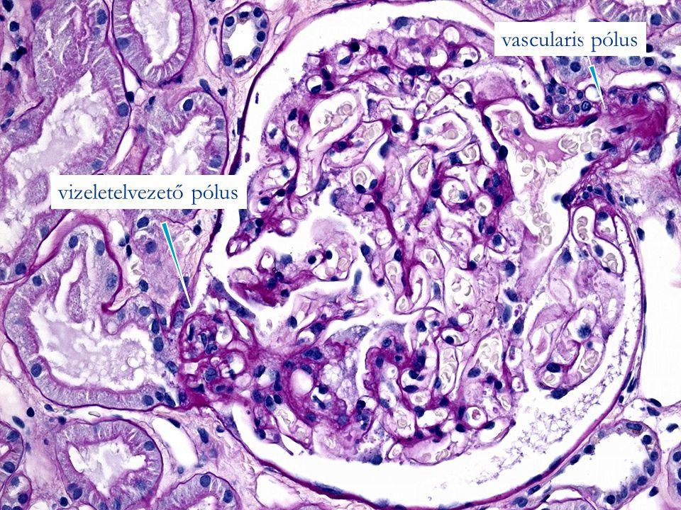 vizeletelvezető pólus vascularis pólus