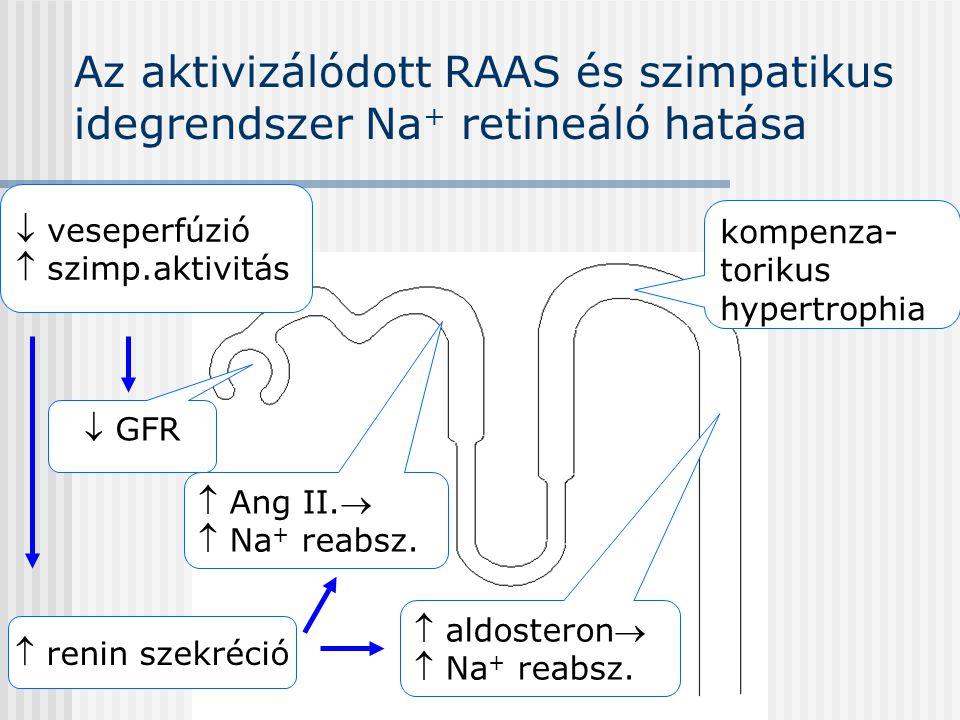 Az aktivizálódott RAAS és szimpatikus idegrendszer Na + retineáló hatása  GFR  Ang II.  Na + reabsz. kompenza- torikus hypertrophia  veseperfúzió