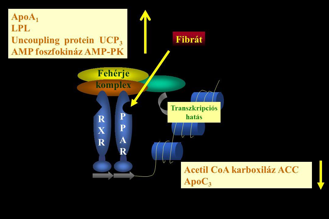 RXRRXR PPARPPAR Fehérje komplex Transzkripciós hatás Fibrát ApoA 1 LPL Uncoupling protein UCP 3 AMP foszfokináz AMP-PK Acetil CoA karboxiláz ACC ApoC