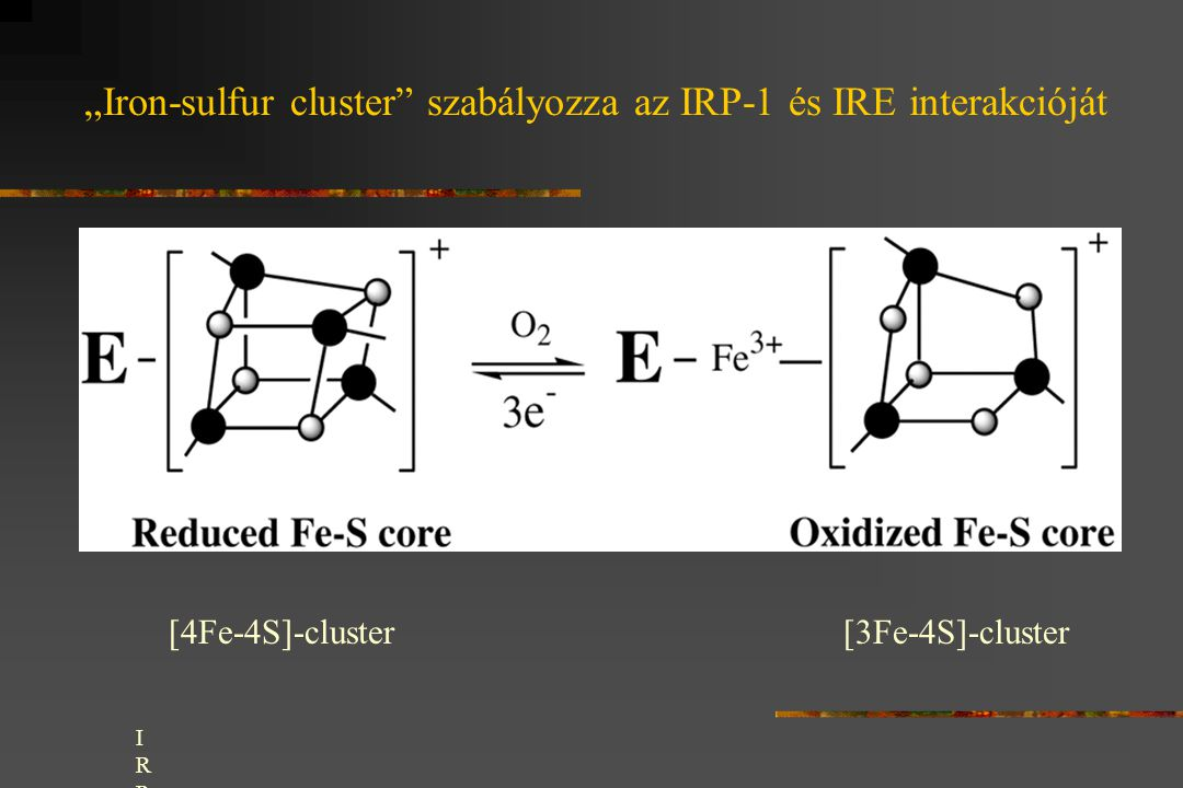 """Iron-sulfur cluster"" szabályozza az IRP-1 és IRE interakcióját [4Fe-4S]-cluster[3Fe-4S]-cluster IRP-1 can adopt two conformations: one with a [4Fe-4S"