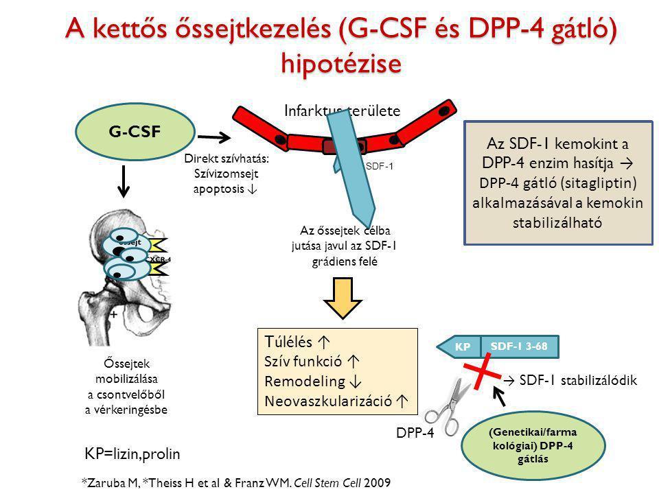 A kettős őssejtkezelés (G-CSF és DPP-4 gátló) hipotézise *Zaruba M, *Theiss H et al & Franz WM. Cell Stem Cell 2009 Infarktus területe G-CSF Direkt sz