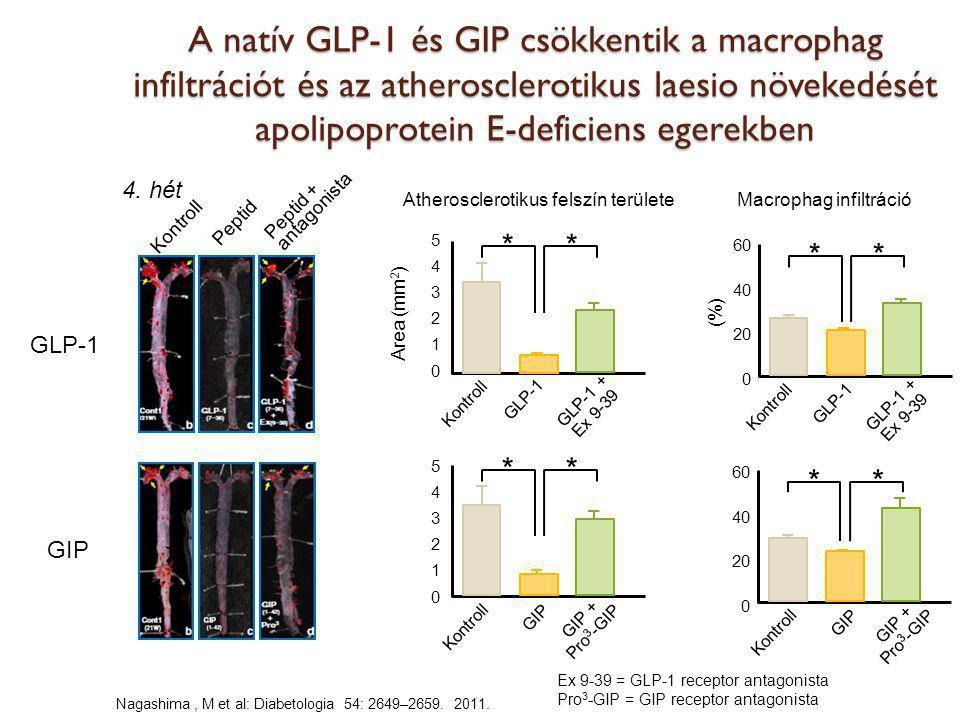 Nagashima, M et al: Diabetologia 54: 2649–2659. 2011. A natív GLP-1 és GIP csökkentik a macrophag infiltrációt és az atherosclerotikus laesio növekedé