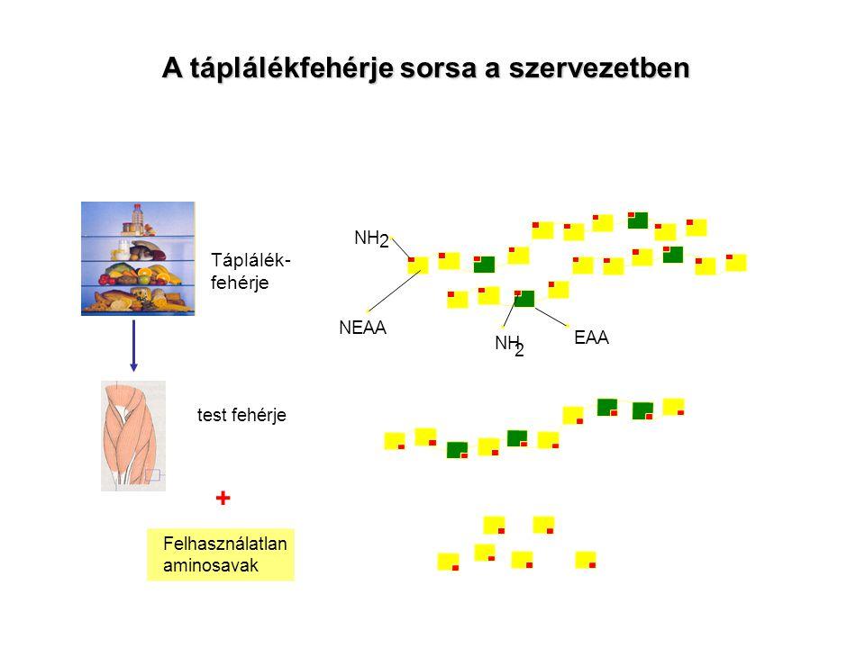 Táplálék- fehérje test fehérje Felhasználatlan aminosavak + NEAA NH 2 EAA NH 2 A táplálékfehérje sorsa a szervezetben