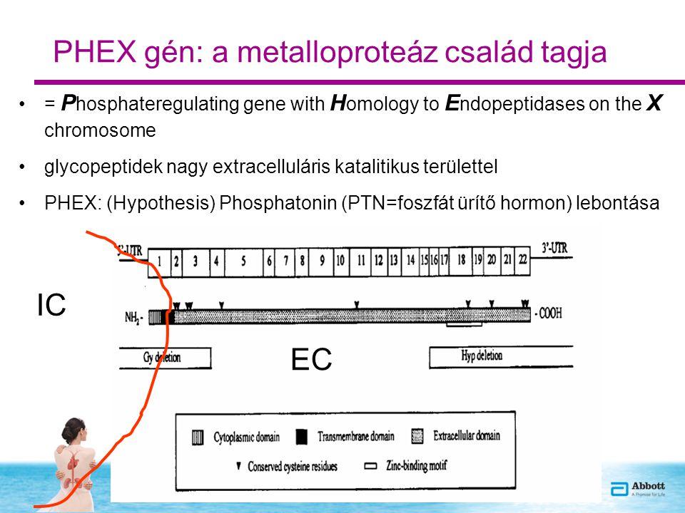 PHEX gén: a metalloproteáz család tagja = P hosphateregulating gene with H omology to E ndopeptidases on the X chromosome glycopeptidek nagy extracelluláris katalitikus területtel PHEX: (Hypothesis) Phosphatonin (PTN=foszfát ürítő hormon) lebontása IC EC