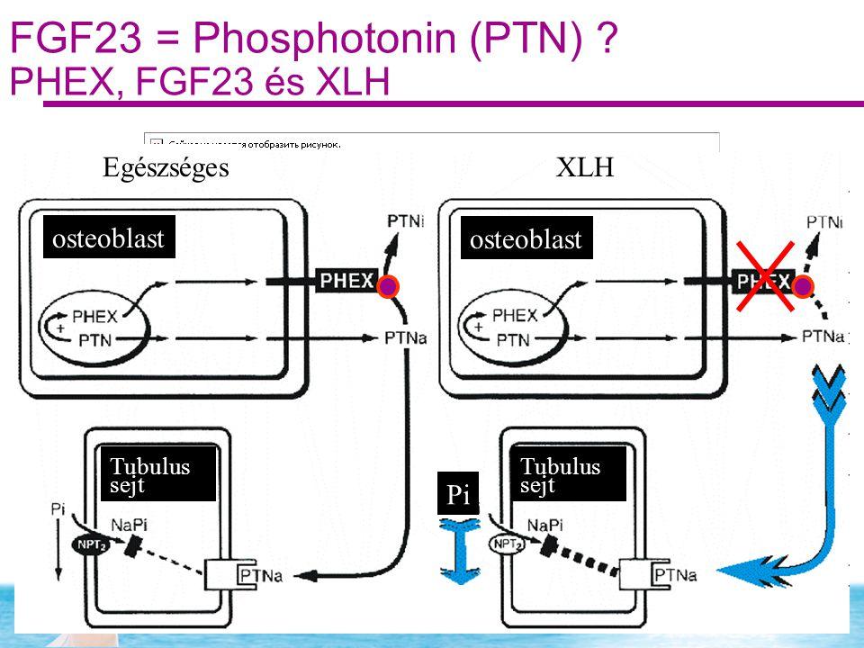 FGF23 = Phosphotonin (PTN) ? PHEX, FGF23 és XLH EgészségesXLH osteoblast Tubulus sejt Tubulus sejt Pi