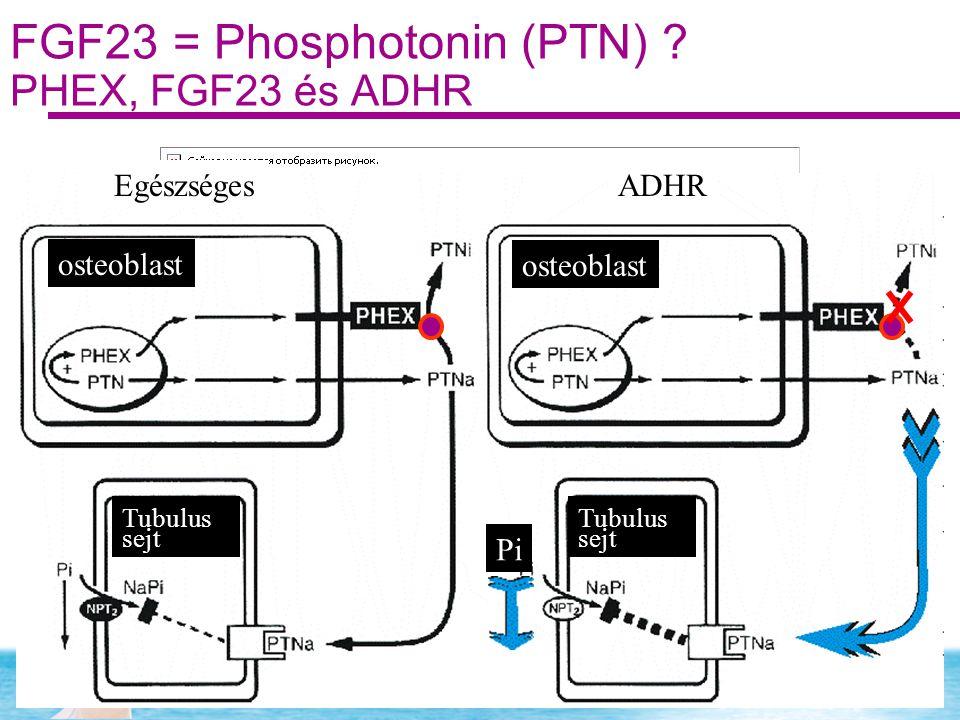 FGF23 = Phosphotonin (PTN) ? PHEX, FGF23 és ADHR EgészségesADHR osteoblast Tubulus sejt Tubulus sejt Pi