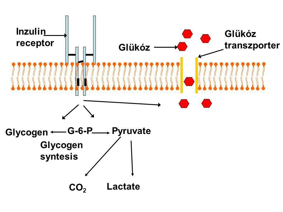 Glükóz transzporter Inzulin receptor Glycogen G-6-PPyruvate CO 2 Lactate Glycogen syntesis