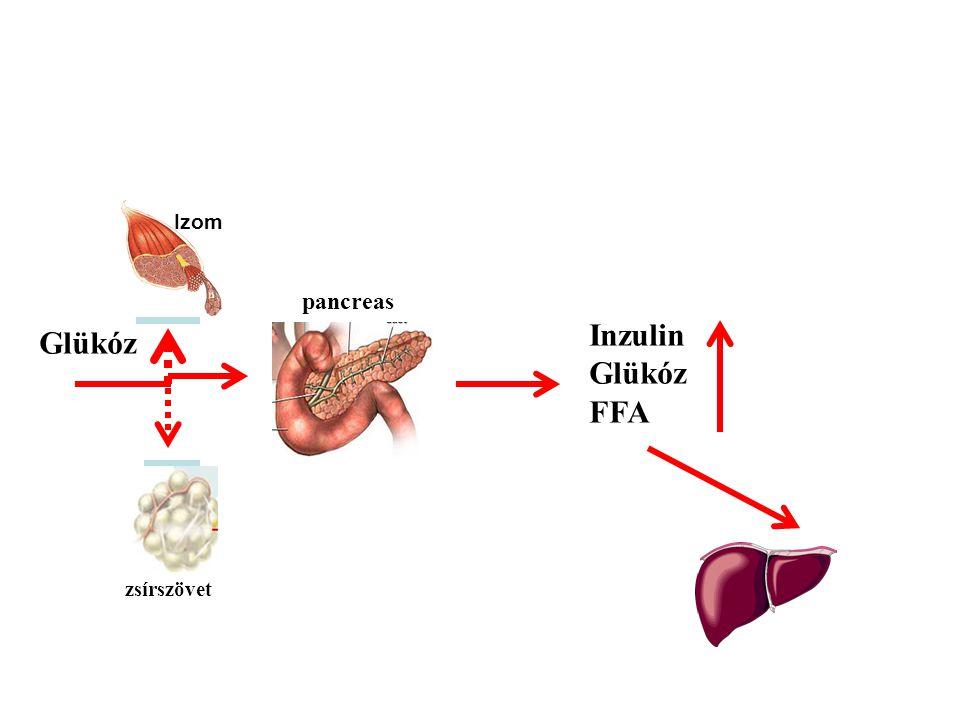 zsírszövet pancreas Glükóz Inzulin Glükóz FFA Izom máj