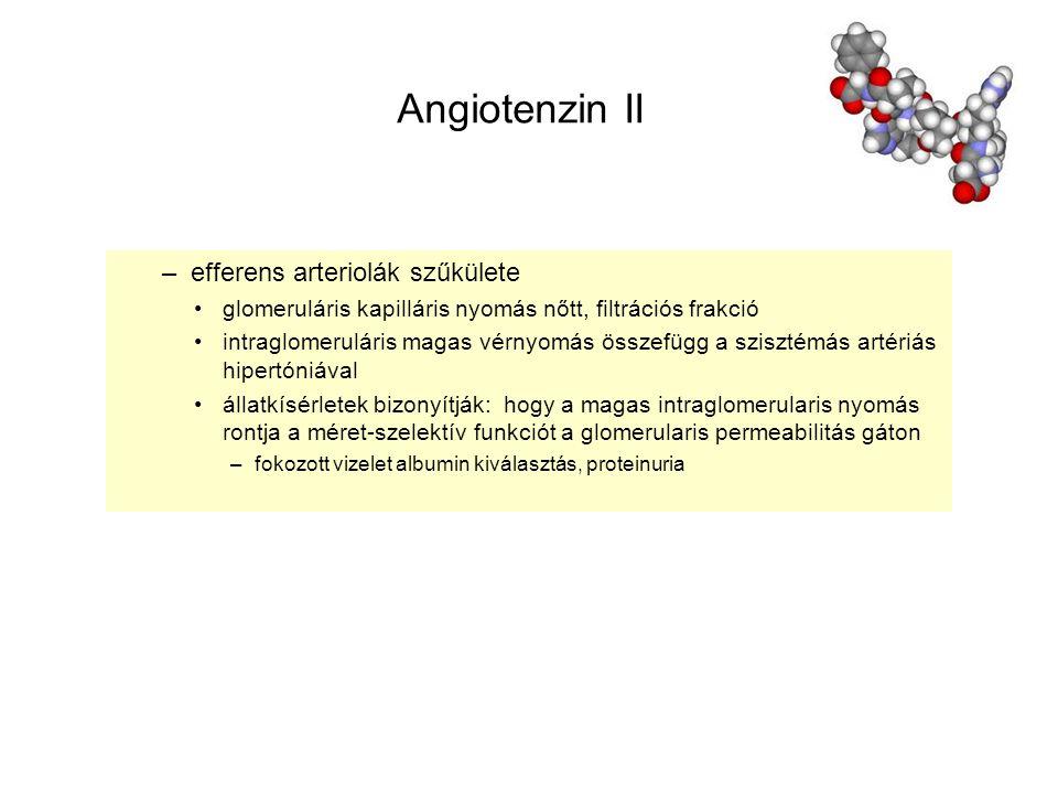 Angiotenzin II –efferens arteriolák szűkülete glomeruláris kapilláris nyomás nőtt, filtrációs frakció intraglomeruláris magas vérnyomás összefügg a sz
