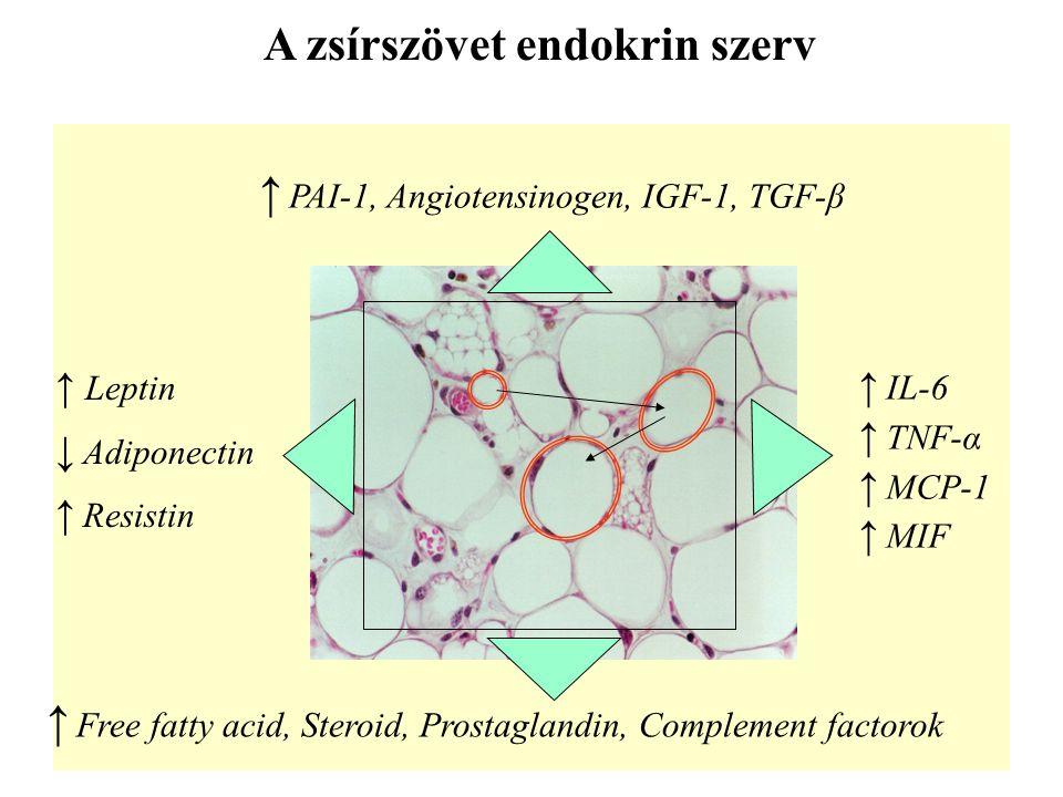 A zsírszövet endokrin szerv ↑ Leptin ↓ Adiponectin ↑ Resistin ↑ IL-6 ↑ TNF-α ↑ MCP-1 ↑ MIF ↑ PAI-1, Angiotensinogen, IGF-1, TGF-β ↑ Free fatty acid, S