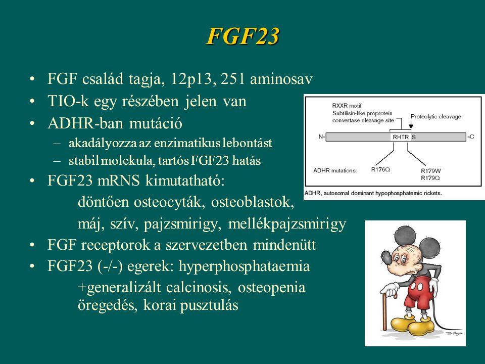 FGF23 FGF család tagja, 12p13, 251 aminosav TIO-k egy részében jelen van ADHR-ban mutáció –akadályozza az enzimatikus lebontást –stabil molekula, tartós FGF23 hatás FGF23 mRNS kimutatható: döntően osteocyták, osteoblastok, máj, szív, pajzsmirigy, mellékpajzsmirigy FGF receptorok a szervezetben mindenütt FGF23 (-/-) egerek: hyperphosphataemia +generalizált calcinosis, osteopenia öregedés, korai pusztulás