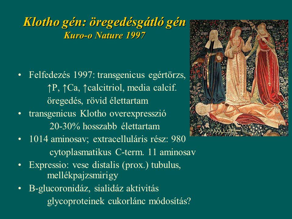 Klotho gén: öregedésgátló gén Kuro-o Nature 1997 Felfedezés 1997: transgenicus egértörzs, ↑P, ↑Ca, ↑calcitriol, media calcif.