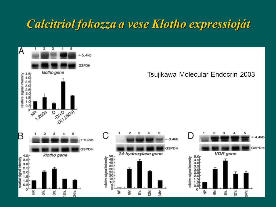 Calcitriol fokozza a vese Klotho expressioját Tsujikawa Molecular Endocrin 2003