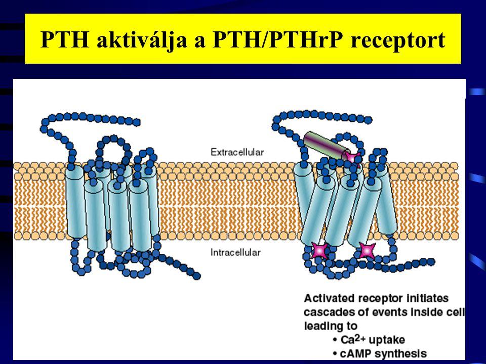 PTH aktiválja a PTH/PTHrP receptort 3