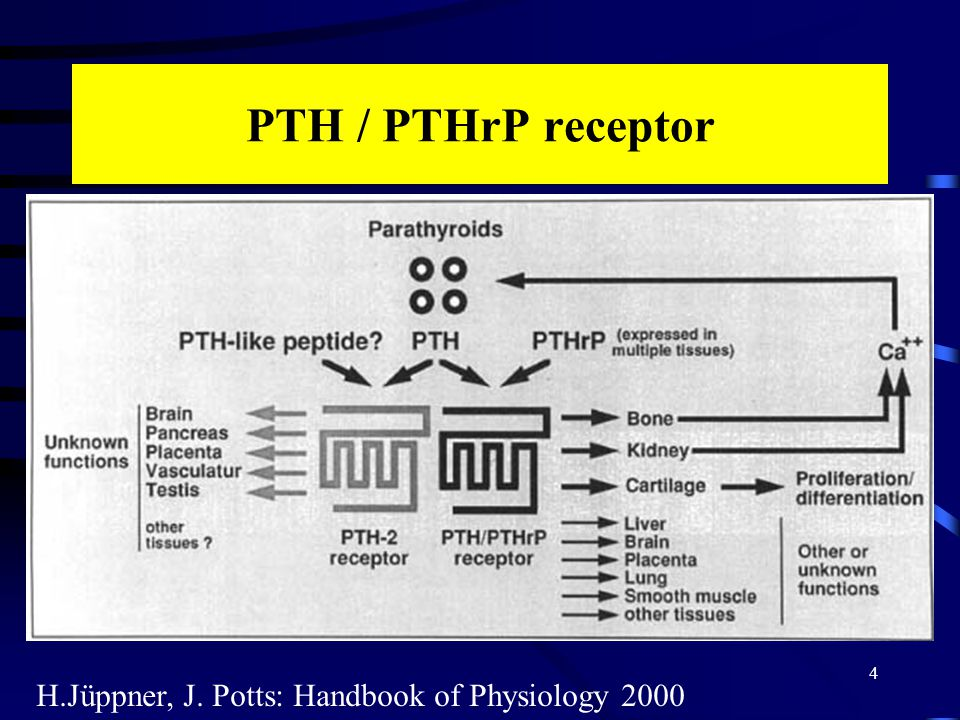 PTH / PTHrP receptor 4 H.Jüppner, J. Potts: Handbook of Physiology 2000