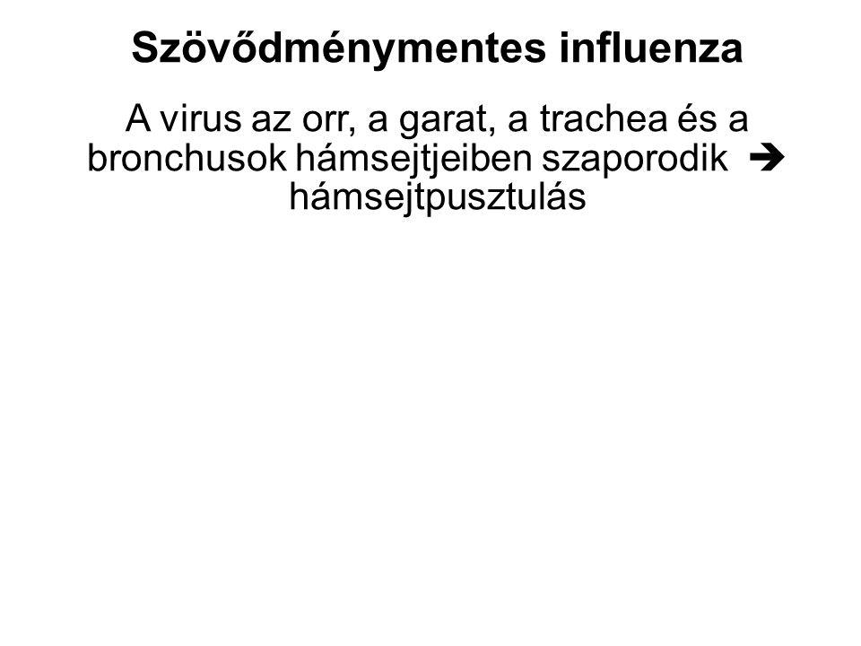 Morfológia H1N1-okozta tracheobronchitis Igen erős vérbőség Hámsejt necrosis Lymphocytás és histiocytás beszűrődés Nyáksecretio