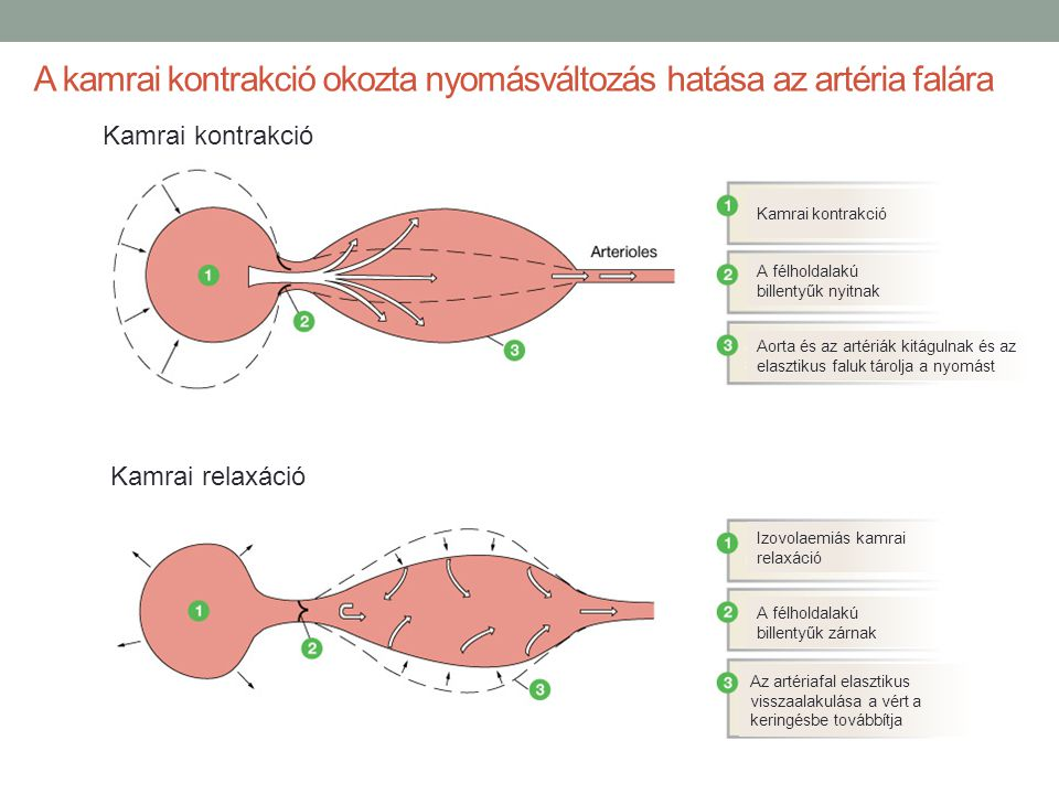 A kamrai kontrakció okozta nyomásváltozás hatása az artéria falára Kamrai kontrakció Kamrai relaxáció Kamrai kontrakció A félholdalakú billentyűk nyit
