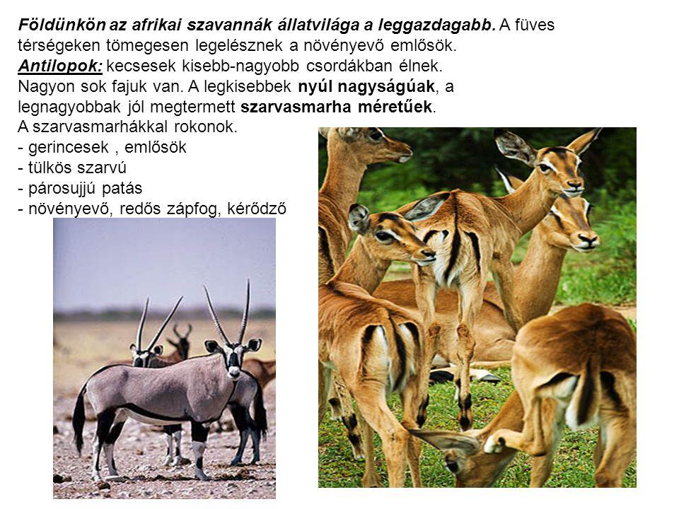 Földünkön az afrikai szavannák állatvilága a leggazdagabb. A füves térségeken tömegesen legelésznek a növényevő emlősök. Antilopok: kecsesek kisebb-na