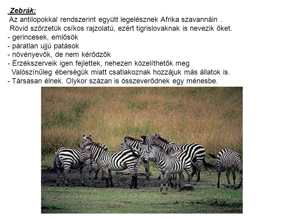 Zebrák: Az antilopokkal rendszerint együtt legelésznek Afrika szavannáin. Rövid szőrzetük csíkos rajzolatú, ezért tigrislovaknak is nevezik őket. - ge
