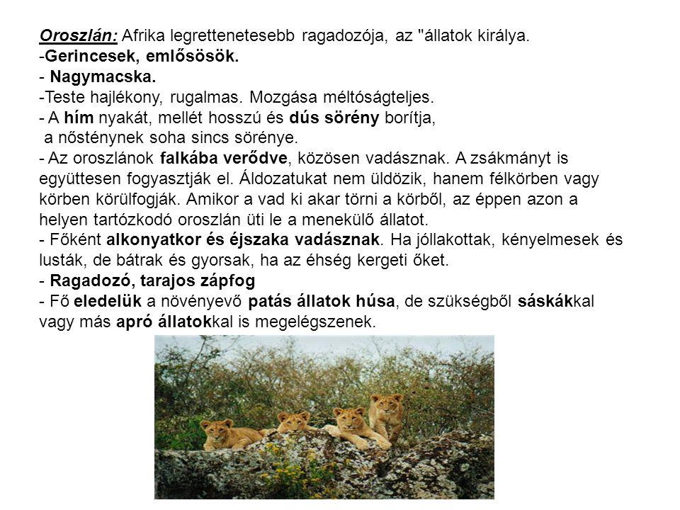 Oroszlán: Afrika legrettenetesebb ragadozója, az