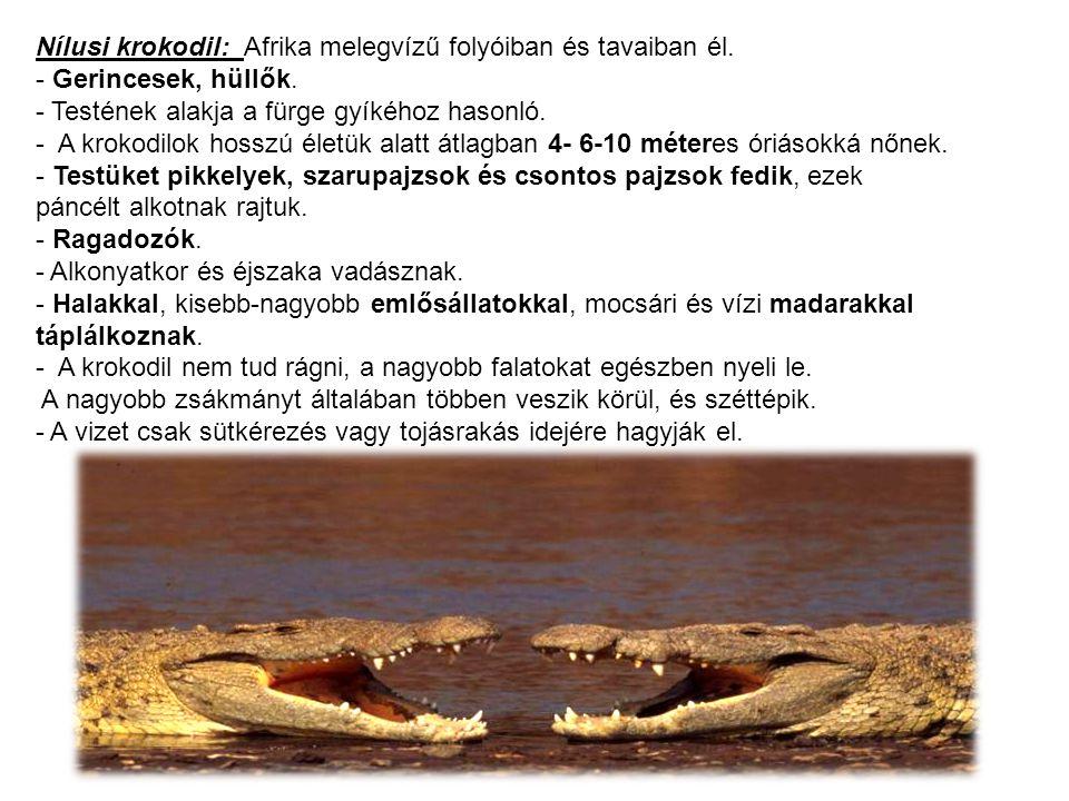 Nílusi krokodil: Afrika melegvízű folyóiban és tavaiban él. - Gerincesek, hüllők. - Testének alakja a fürge gyíkéhoz hasonló. - A krokodilok hosszú él