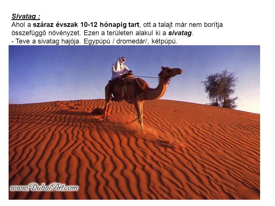 Sivatag : Ahol a száraz évszak 10-12 hónapig tart, ott a talajt már nem borítja összefüggő növényzet. Ezen a területen alakul ki a sivatag. - Teve a s