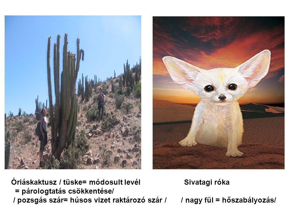 Óriáskaktusz / tüske= módosult levél Sivatagi róka = párologtatás csökkentése/ / pozsgás szár= húsos vizet raktározó szár / / nagy fül = hőszabályozás