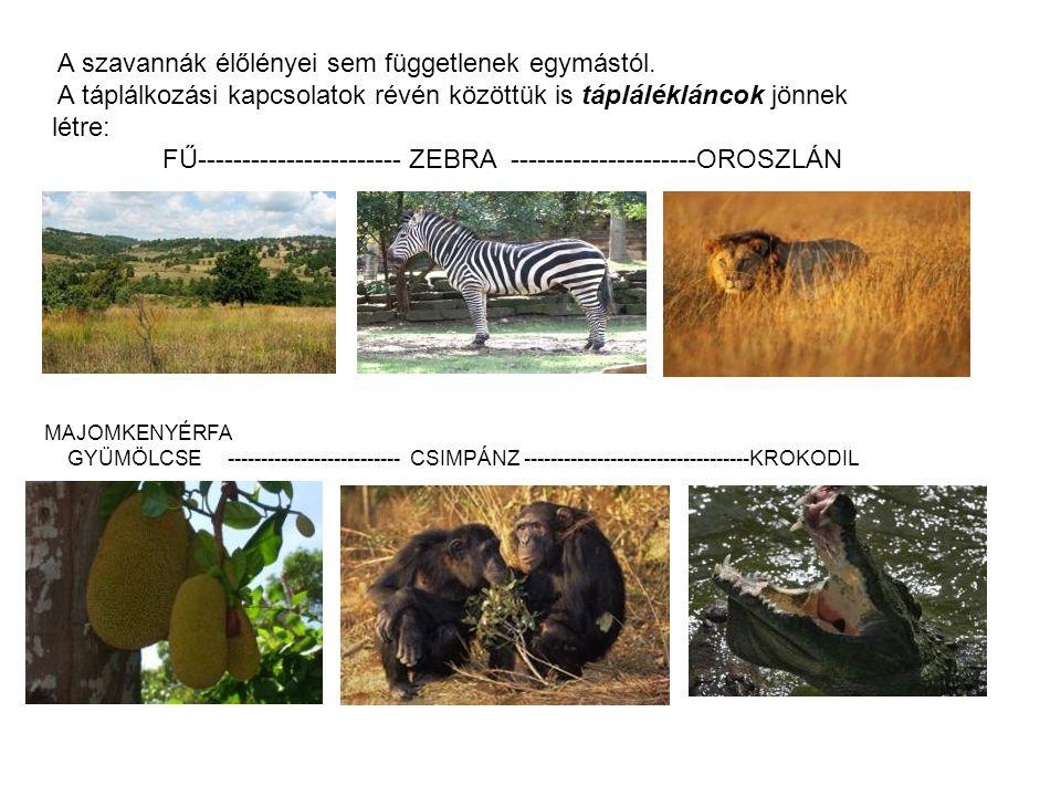 A szavannák élőlényei sem függetlenek egymástól. A táplálkozási kapcsolatok révén közöttük is táplálékláncok jönnek létre: FŰ----------------------- Z