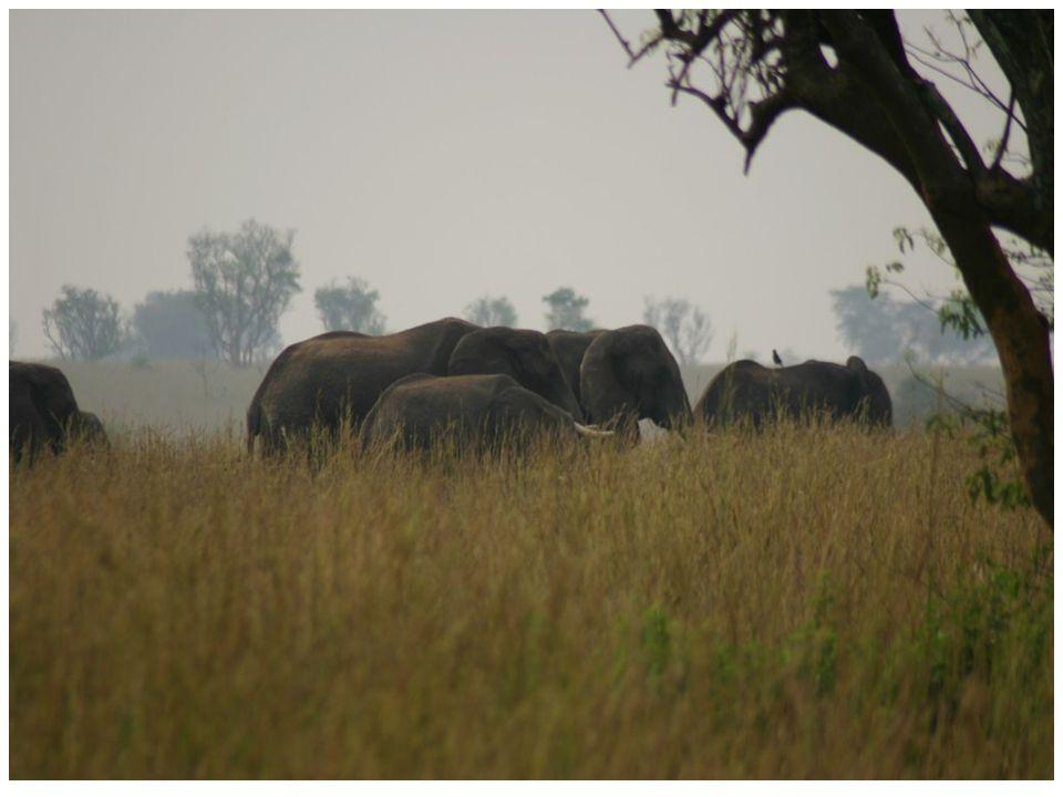 Földünkön az afrikai szavannák állatvilága a leggazdagabb.