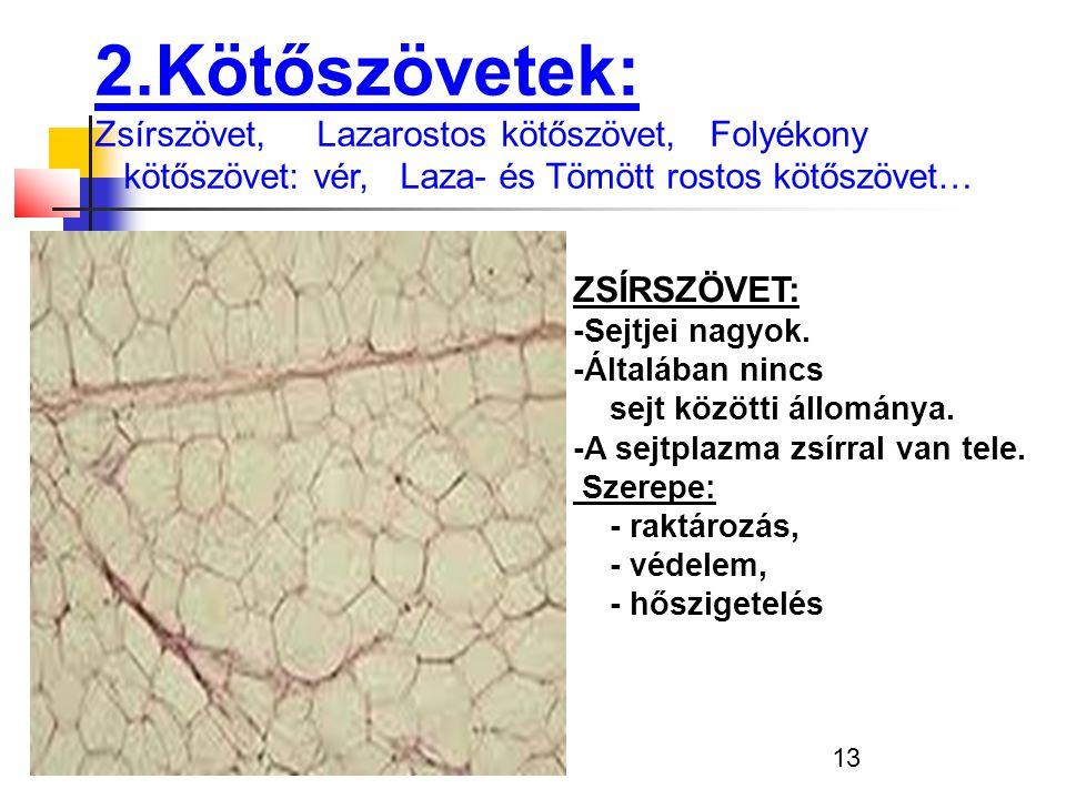 13 2.Kötőszövetek: Zsírszövet, Lazarostos kötőszövet, Folyékony kötőszövet: vér, Laza- és Tömött rostos kötőszövet… ZSÍRSZÖVET: -Sejtjei nagyok. -Álta