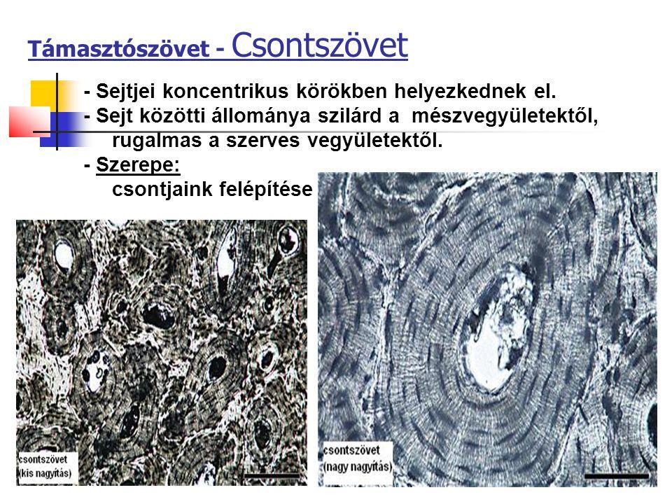 17 Támasztószövet - Csontszövet - Sejtjei koncentrikus körökben helyezkednek el. - Sejt közötti állománya szilárd a mészvegyületektől, rugalmas a szer