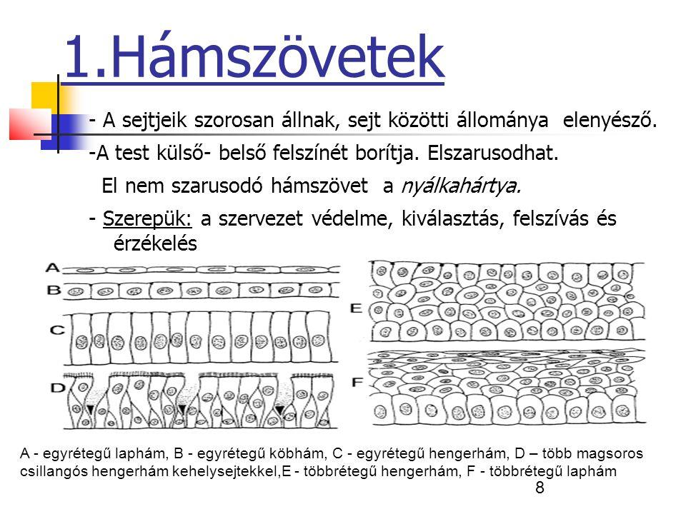 19 Izomszövet Harántcsíkolt izomszövet ( vázizomzat) - Akaratunktól függően működik.