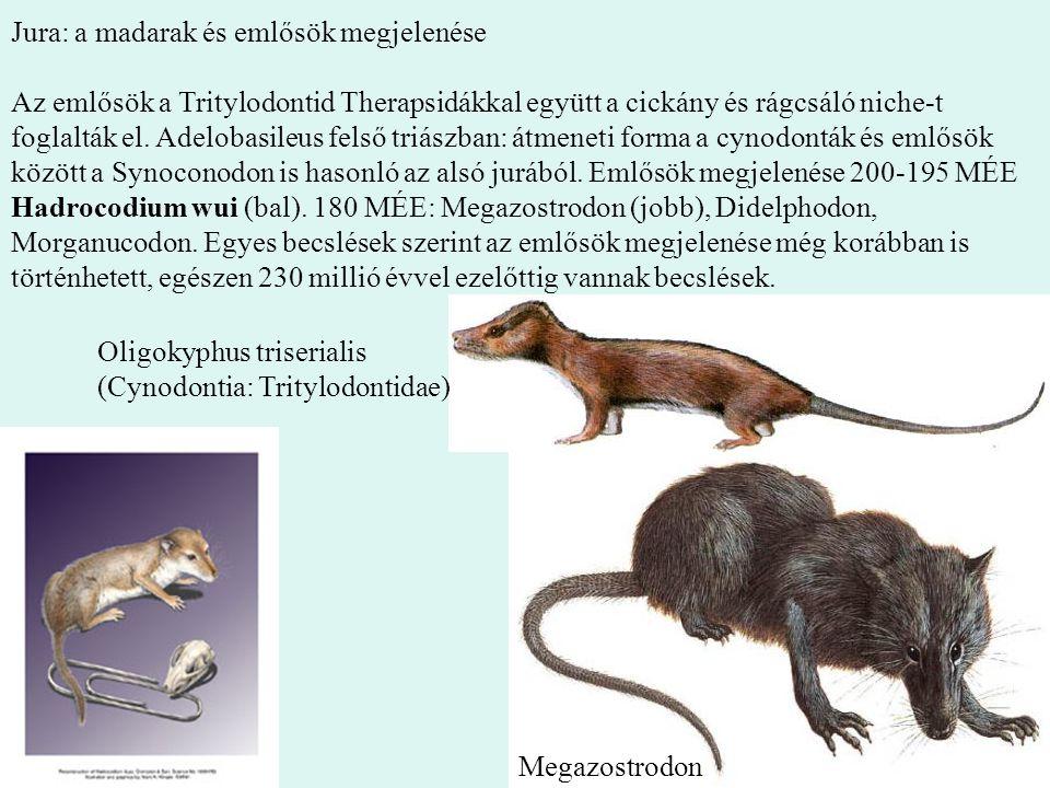 16 Jura: a madarak és emlősök megjelenése Az emlősök a Tritylodontid Therapsidákkal együtt a cickány és rágcsáló niche-t foglalták el. Adelobasileus f