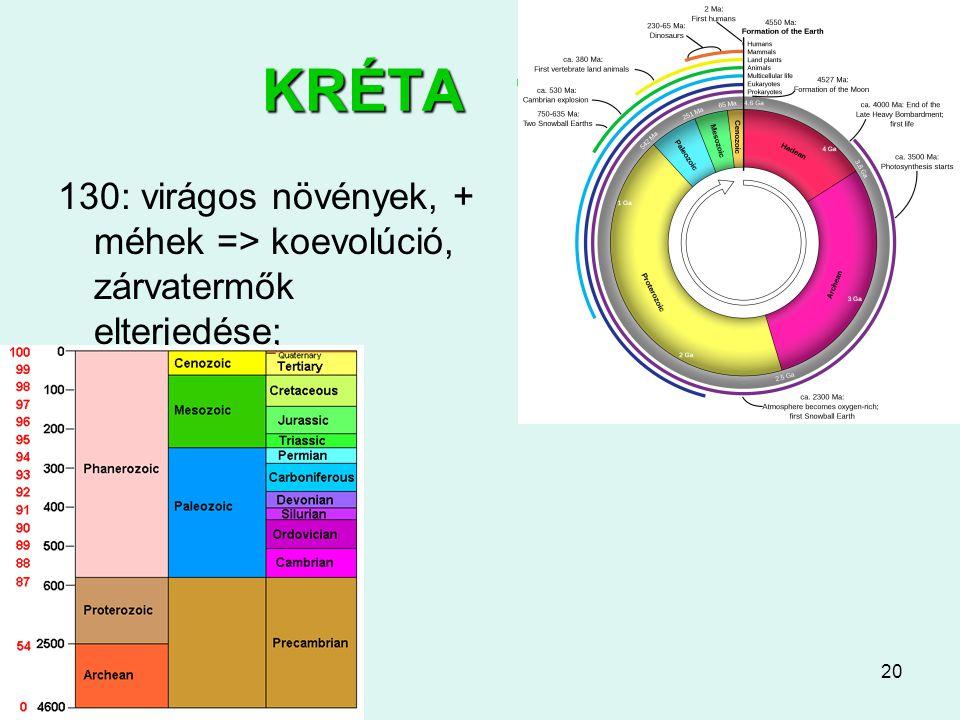 20 KRÉTA 145-65 130: virágos növények, + méhek => koevolúció, zárvatermők elterjedése;