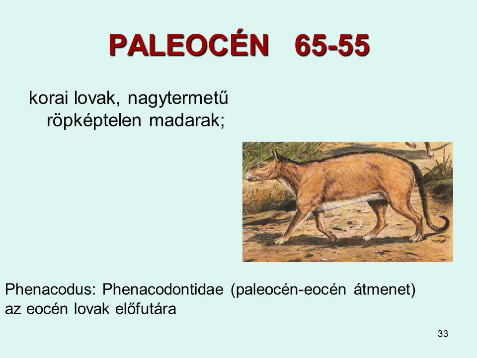 33 PALEOCÉN 65-55 korai lovak, nagytermetű röpképtelen madarak; Phenacodus: Phenacodontidae (paleocén-eocén átmenet) az eocén lovak előfutára