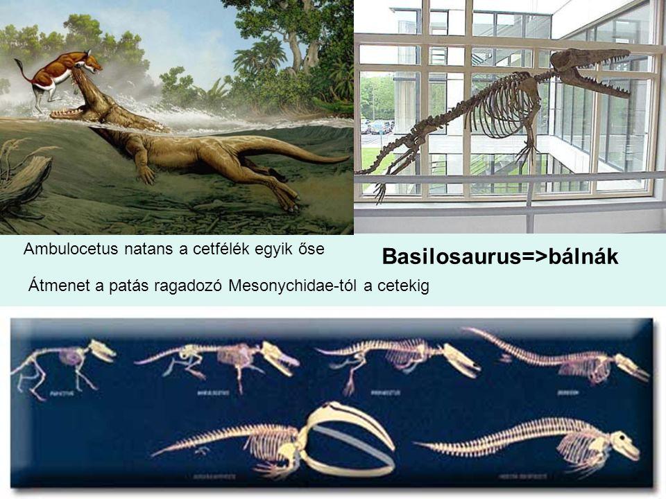 37 Ambulocetus natans a cetfélék egyik őse Átmenet a patás ragadozó Mesonychidae-tól a cetekig Basilosaurus=>bálnák
