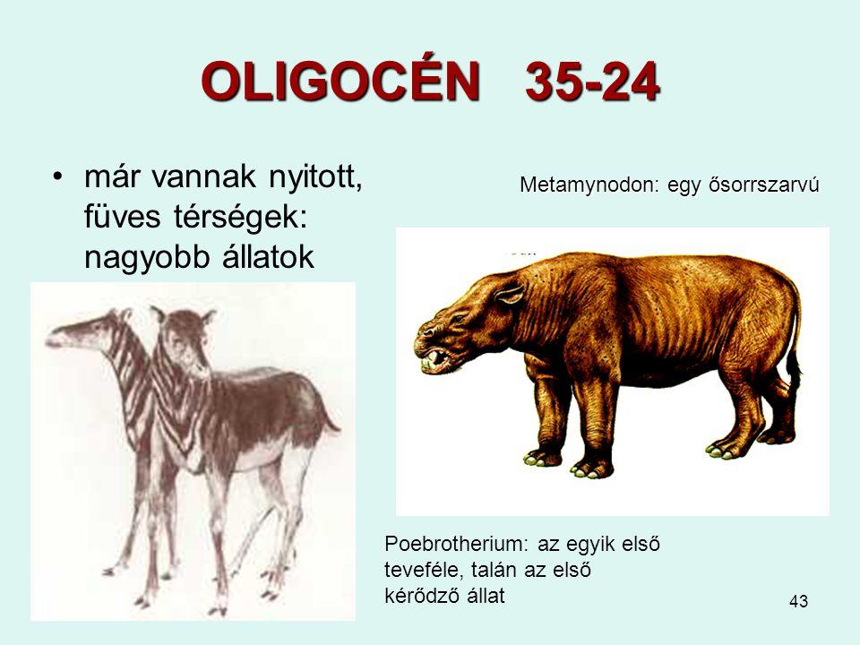 43 OLIGOCÉN 35-24 már vannak nyitott, füves térségek: nagyobb állatok Metamynodon: egy ősorrszarvú Poebrotherium: az egyik első teveféle, talán az els