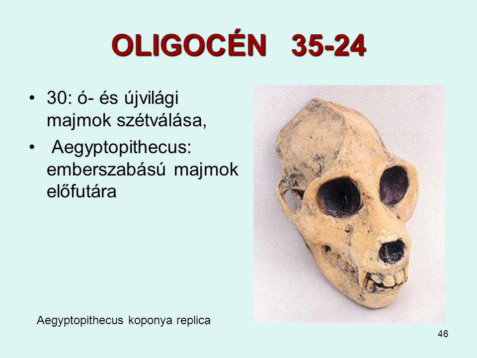 46 OLIGOCÉN 35-24 30: ó- és újvilági majmok szétválása, Aegyptopithecus: emberszabású majmok előfutára Aegyptopithecus koponya replica