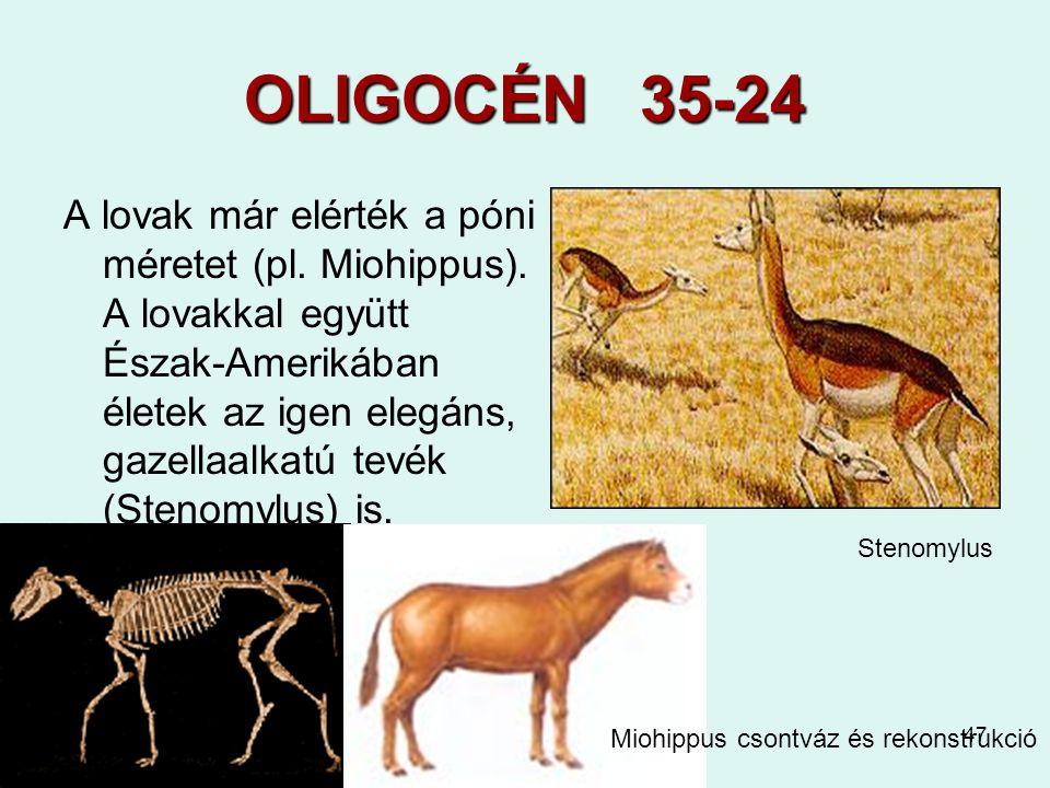 47 OLIGOCÉN 35-24 A lovak már elérték a póni méretet (pl. Miohippus). A lovakkal együtt Észak-Amerikában életek az igen elegáns, gazellaalkatú tevék (