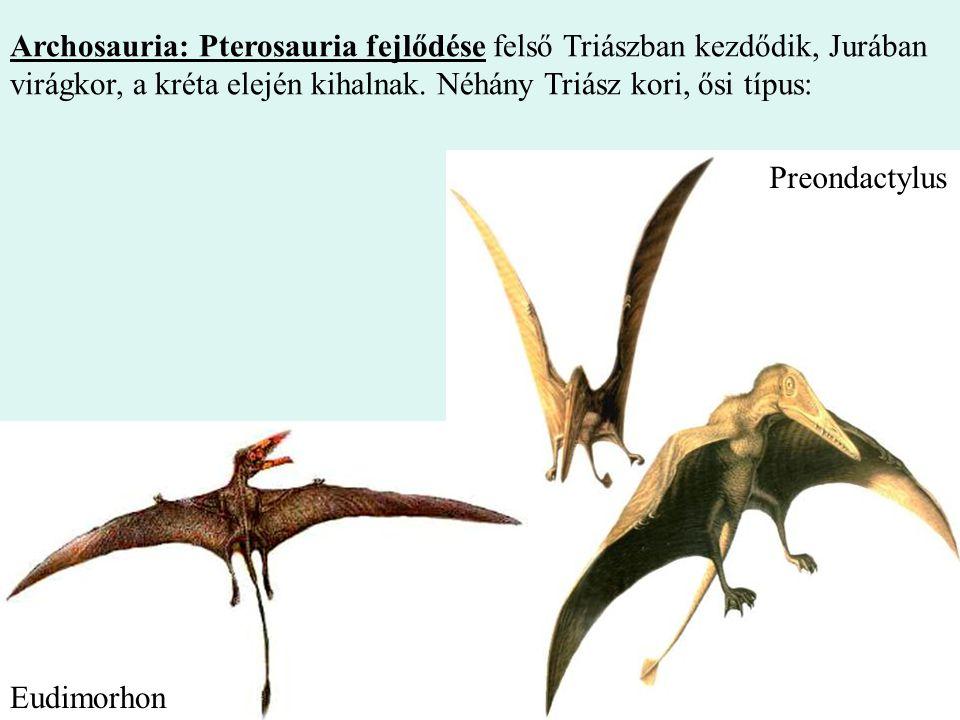 7 Archosauria: Pterosauria fejlődése felső Triászban kezdődik, Jurában virágkor, a kréta elején kihalnak. Néhány Triász kori, ősi típus: Preondactylus